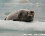 https://www.spitsbergen-svalbard.com/spitsbergen-information/wildlife/bearded-seal.html