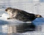 https://www.spitsbergen-svalbard.com/spitsbergen-information/wildlife/ringed-seal.html