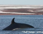 https://www.spitsbergen-svalbard.com/spitsbergen-information/wildlife/minke-whale.html