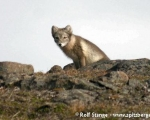 https://www.spitsbergen-svalbard.com/spitsbergen-information/wildlife/arctic-fox.html