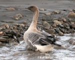 https://www.spitsbergen-svalbard.com/spitsbergen-information/wildlife/pink-footed-goose.html