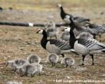 https://www.spitsbergen-svalbard.com/spitsbergen-information/wildlife/barnacle-goose.html