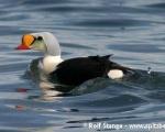 https://www.spitsbergen-svalbard.com/spitsbergen-information/wildlife/king-eider.html