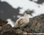 https://www.spitsbergen-svalbard.com/spitsbergen-information/wildlife/rock-ptarmigan.html