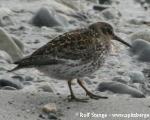 https://www.spitsbergen-svalbard.com/spitsbergen-information/wildlife/purple-sandpiper.html