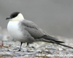 https://www.spitsbergen-svalbard.com/spitsbergen-information/wildlife/long-tailed-skua.html