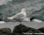 https://www.spitsbergen-svalbard.com/spitsbergen-information/wildlife/glaucous-gull.html