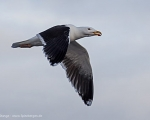 https://www.spitsbergen-svalbard.com/spitsbergen-information/wildlife/great-black-backed-gull.html