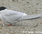 https://www.spitsbergen-svalbard.com/spitsbergen-information/wildlife/arctic-tern.html