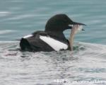 https://www.spitsbergen-svalbard.com/spitsbergen-information/wildlife/black-guillemot.html