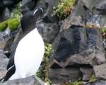 https://www.spitsbergen-svalbard.com/spitsbergen-information/wildlife/razorbill.html