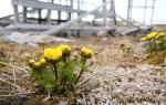Snow buttercup (Ranunculus nivalis)